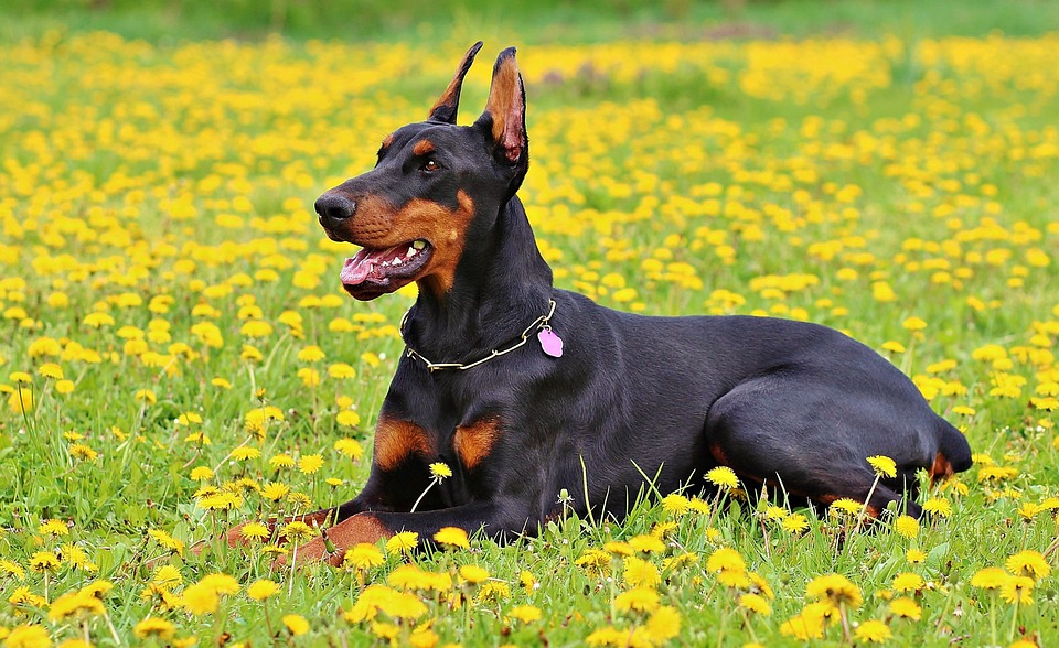 Doberman laying in a field of dandilions